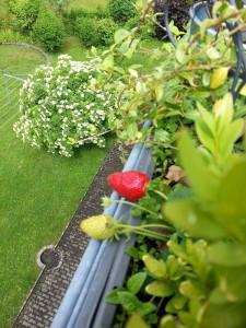 Erdbeere selbstgezüchtet auf dem Balkon - die erste dieses Jahr