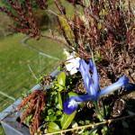 Iris, Vinca- Pflanzen, Blümle, Balkon, Frühling