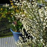 Ginster - Pflanzen, Blümle, Balkon, Frühling