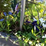 Vergissmeinnicht - Pflanzen, Blümle, Balkon, Frühling