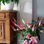 Lilien ein riesiger großer Lilienstrauß, manche Besucher sind klasse. Knospen im Wohnzimmer öffnen sich