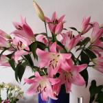 Lilien ein riesiger großer Lilienstrauß, manche Besucher sind klasse. Blütenpracht im Wohnzimmer