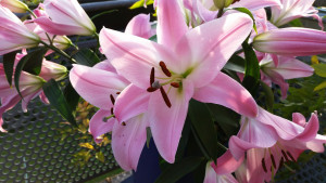 Lilien ein riesiger großer Lilienstrauß, manche Besucher sind klasse. Sonne Balkon