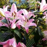 Lilien ein riesiger großer Lilienstrauß, manche Besucher sind klasse. Sonne -Balkon