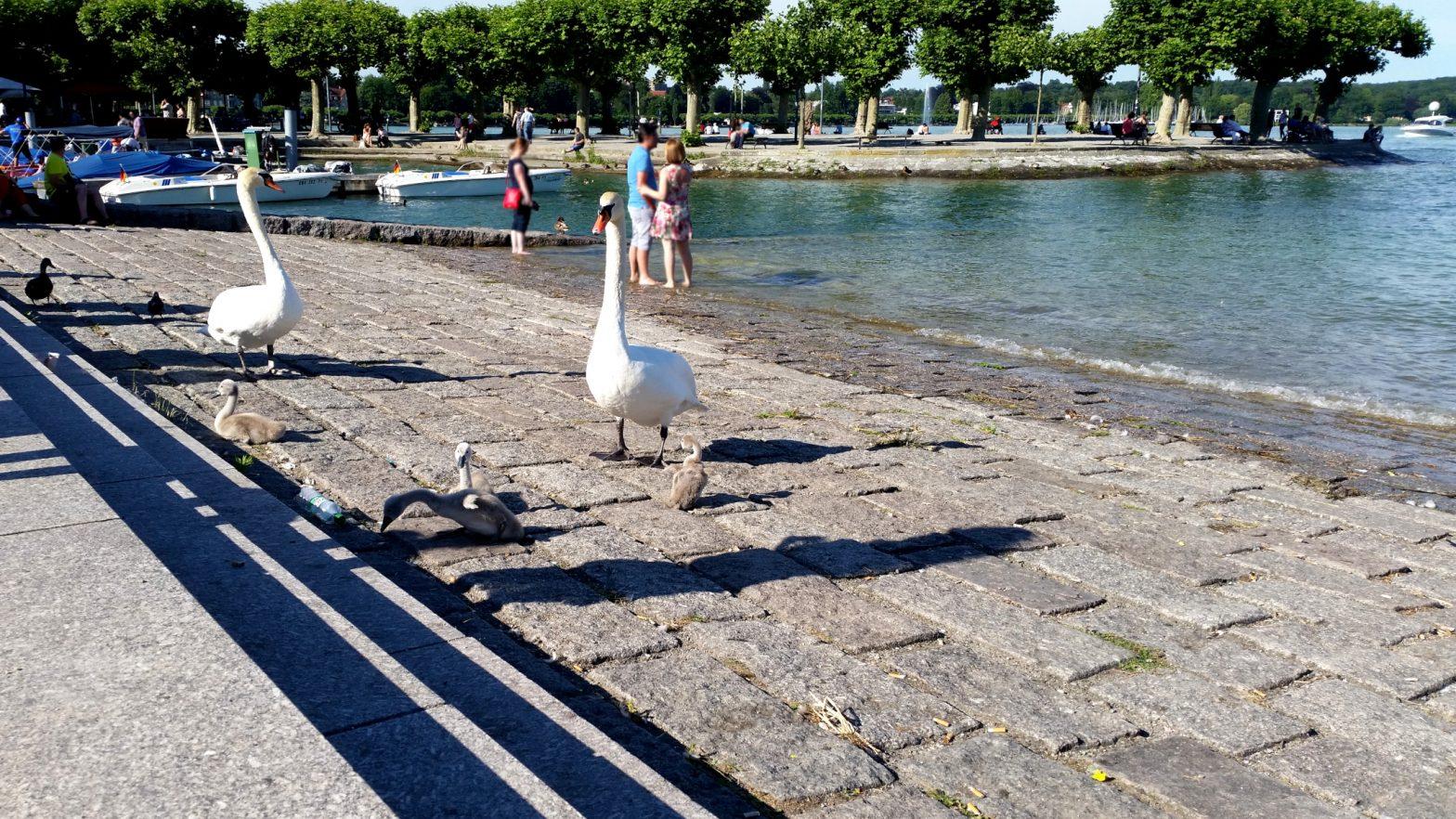 Schwanenfamilie - See - Konstanz - Schwäne mit Jungen auf utele.eu