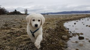 Richie am Bodensee, Welpe, goldenretriever, hund, jungs, richie
