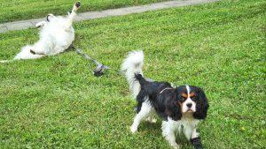 Goldie wälzt sich auf der Wiese, Cavi steht und guckt