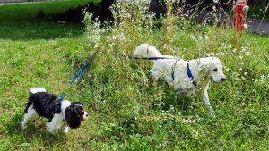 Goldie und Cavi auf einer Wiese, laufen nebeneinander, einer im hohen Gras, der andere im gemähten Teil