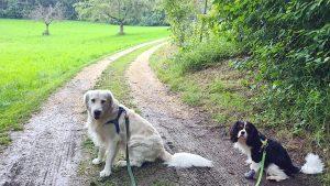 Goldie und Cavi sitzend auf dem feuchten Waldweg, im Hintergrund eine Wiese im Regen